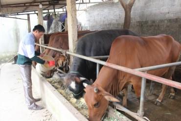 Huyện Ba Vì: Hiệu quả từ mô hình phát triển bò 3B