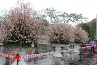 Lần đầu tiên hoa Anh đào Nhật Bản khoe sắc tại Hải Phòng