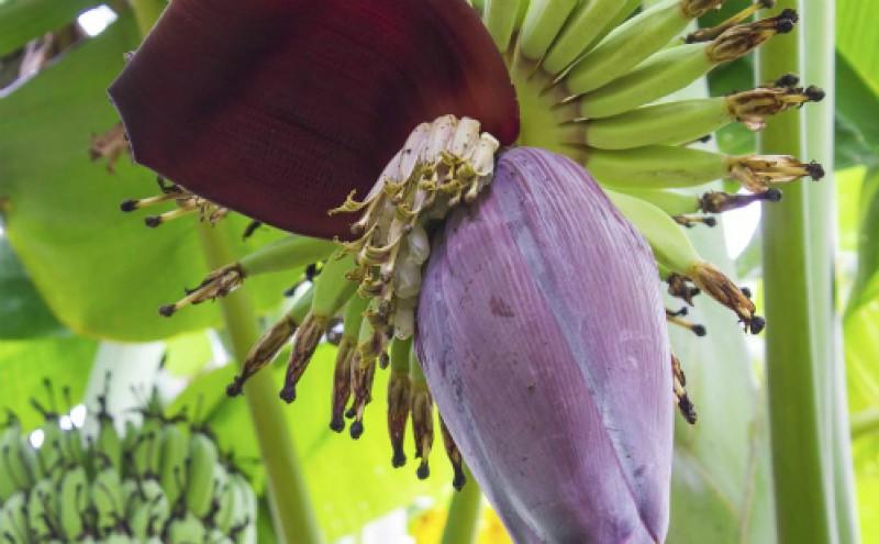 Những lợi ích của hoa chuối với sức khoẻ