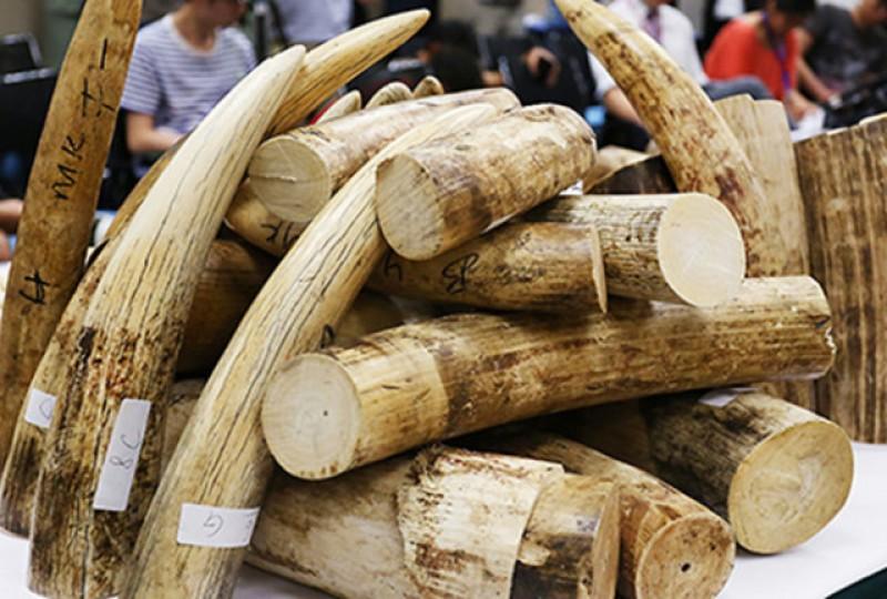 Khởi tố bị can và tạm giam cán bộ hải quan đánh tráo 150kg ngà voi