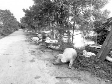 Đẩy mạnh khắc phục hậu quả cho người chăn nuôi sau thiên tai