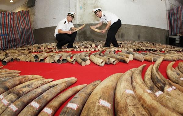 Trung Quốc triệt phá vụ buôn lậu ngà voi qua biên giới Việt Nam