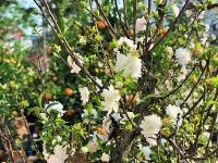 """Hoa mai trắng được người dân Hà Nội """"săn đón"""" dịp Tết Canh Tý"""