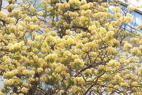 Cận cảnh cây hoa bún 300 năm tuổi độc nhất vô nhị ở Hà Nội