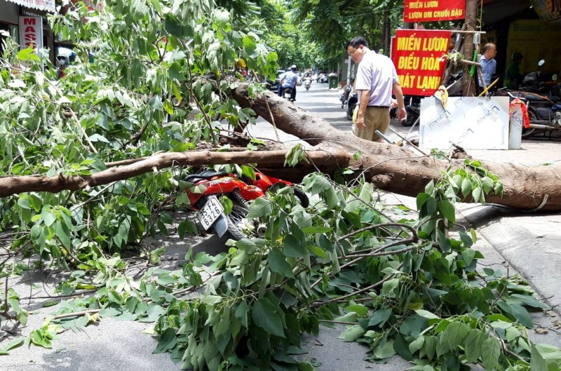 Đề phòng cây xanh bị đổ gãy trong mùa mưa bão