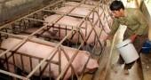 Nhân dân lo lắng về tình hình chăn nuôi rớt giá