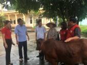 Trao bò giống tới các hộ gia đình có hoàn cảnh khó khăn ở Phú Thọ