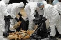 Liên Hợp Quốc hỗ trợ Việt Nam đối phó với dịch cúm gia cầm và các bệnh dịch khác