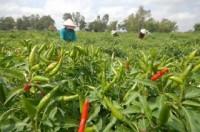 Cà chua, hành lá ở miền Tây chỉ còn 500-2.000 đồng/kg