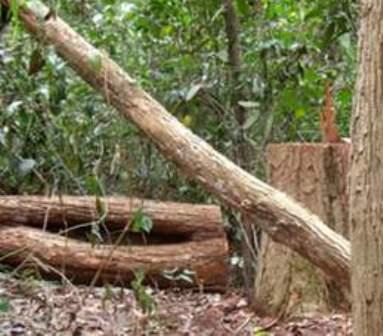 Gỗ trắc ở rừng đặc dụng Đăk Uy một thời bị lâm tặc lén lút triệt hạ