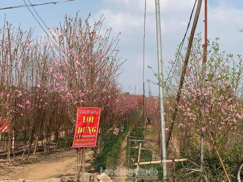 Người trồng đào lao đao vì… nắng