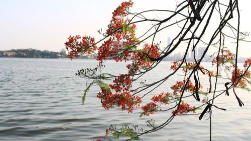 Tháng 5, hoa phượng khoe sắc khắp các tuyến đường tại Thủ đô