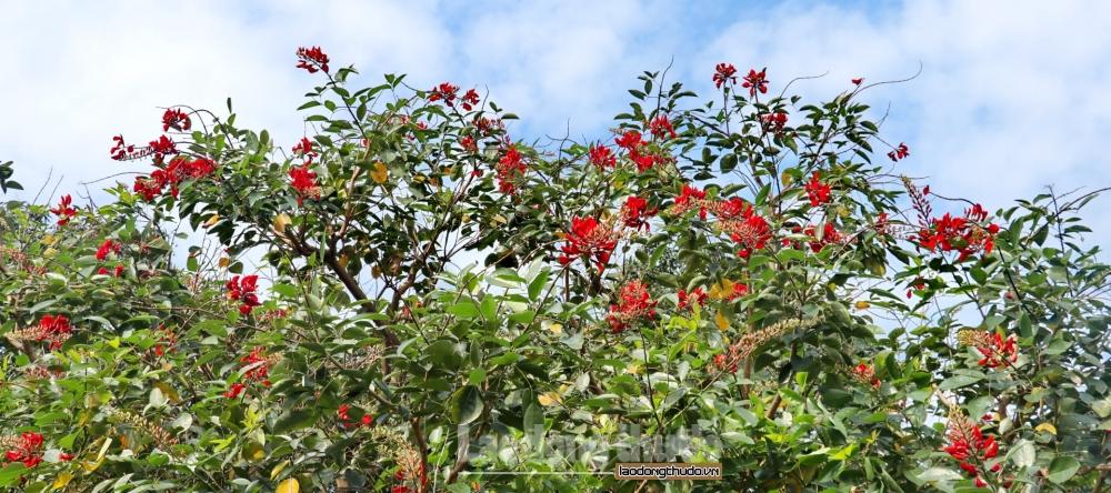 Hà Nội rực rỡ với sắc hoa Osaka