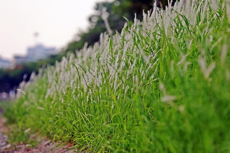 ha noi nhung bui hoa co lau trang muot lam song to lich tho mong la thuong