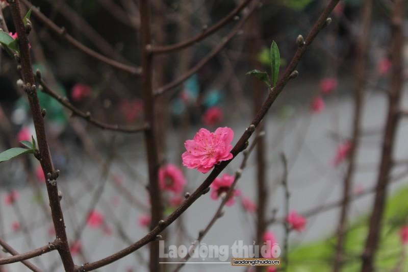 Hoa đào bừng sắc trên đường Lạc Long Quân
