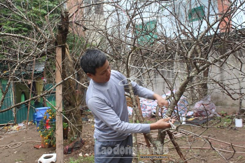 Đào rừng Yên Bái trên 20 năm tuổi xuống phố đón Tết