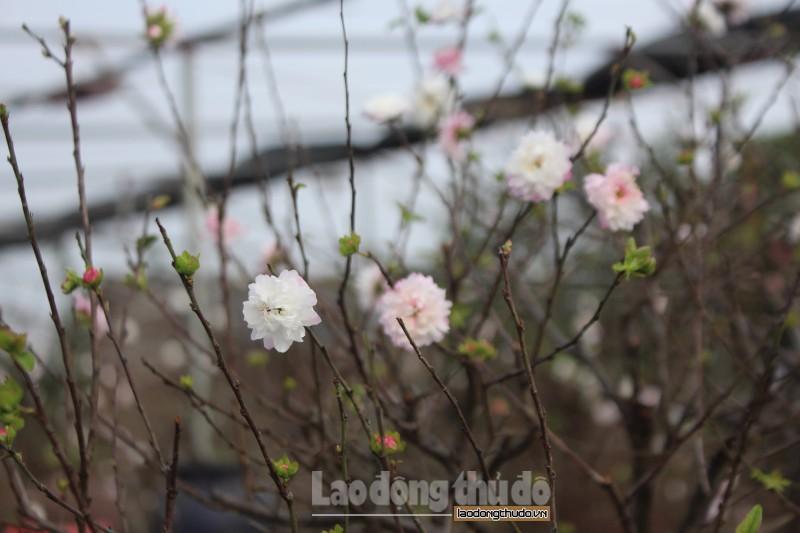 Đã mắt với vườn mai trắng bạc tỷ tại Nhật Tân