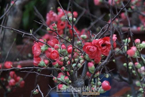 Mai đỏ độc lạ thu hút người mua dịp cận Tết
