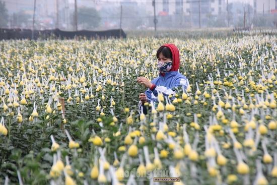 Vựa hoa cúc lớn nhất Thủ đô khoe sắc đón Xuân