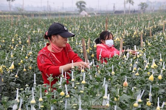 Hoa giữ giá cao trước thềm Xuân, người dân huyện Mê Linh phấn khởi