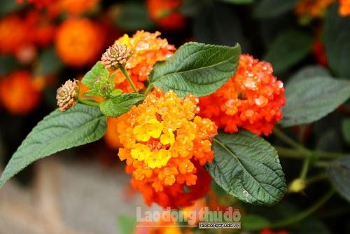 Rực rỡ con đường hoa ngũ sắc thôn Đại Lan
