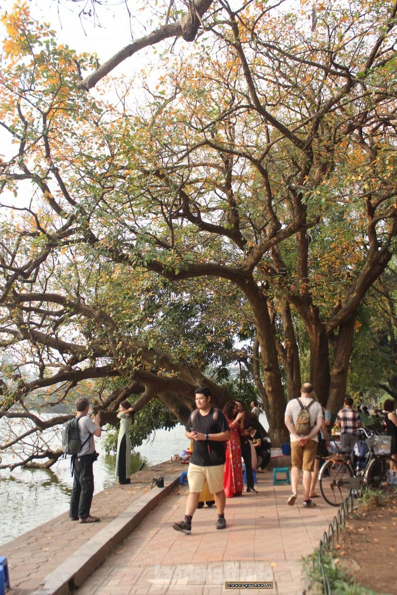 Chiêm ngưỡng mùa Lộc Vừng thay lá ở Hồ Gươm
