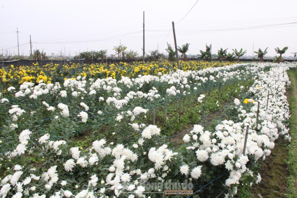 Hoa cúc xã Đại Thịnh nở rộ sau Tết