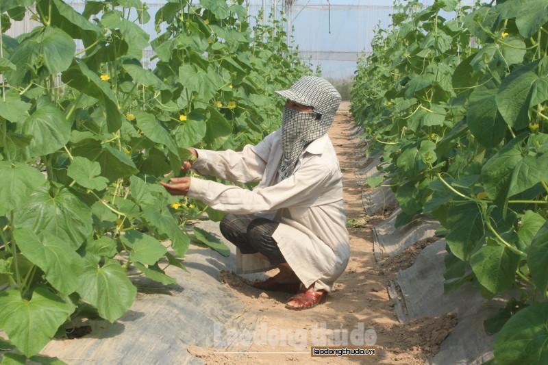 Mô hình trồng dưa lưới trong nhà kính ở Ứng Hòa, Hà Nội