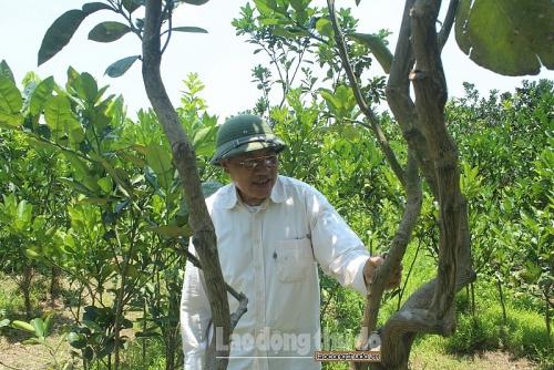 Phát triển mô hình trồng bưởi diễn tại Ứng Hòa