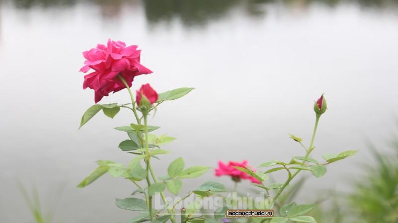 huyen thanh tri ruc ro con duong hoa hong tai xa yen my