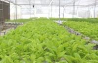 Chú trọng phát triển vùng sản xuất rau an toàn