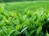 Thức uống từ trà xanh giúp giải nhiệt cuộc sống hiệu quả