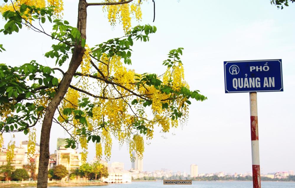 Muồng hoàng yến bung sắc vàng khắp phố phường Thủ đô