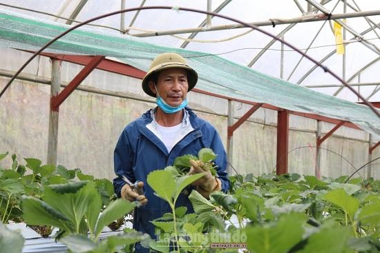 Thăm vườn dâu tây Sa Pa giá bán gần nửa triệu đồng một cân