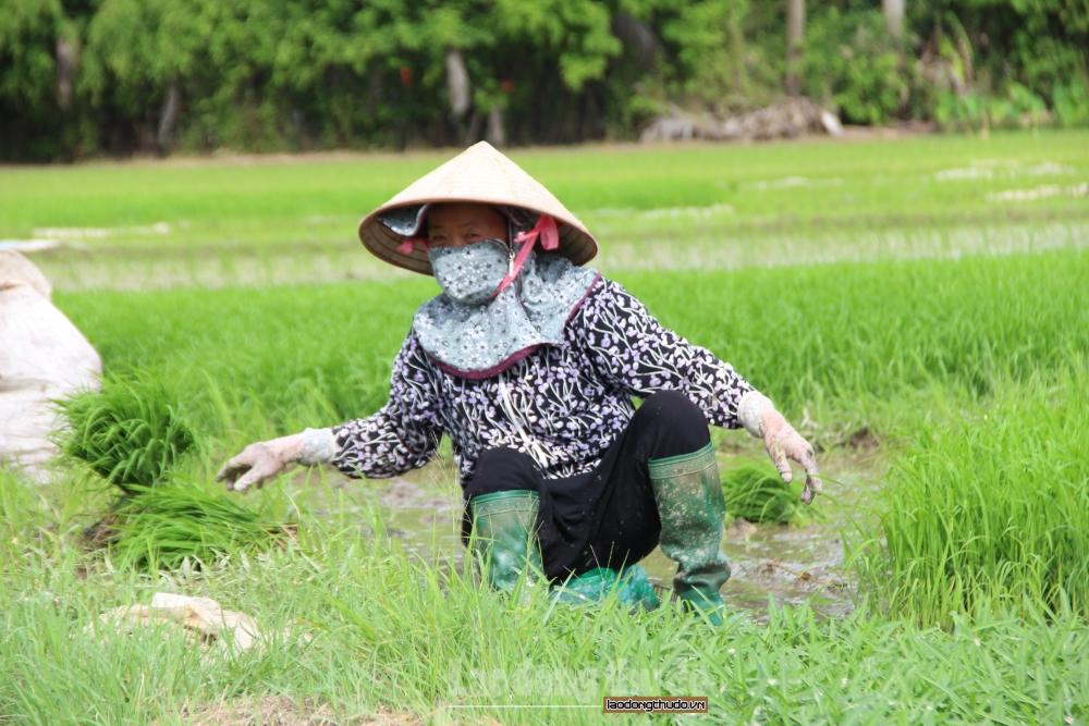 Nông dân tất bật cấy lúa dưới cái nắng như thiêu đốt