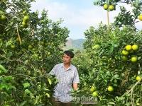 Trồng cam chanh giúp người dân huyện Vũ Quang ổn định cuộc sống