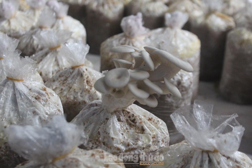 Thăm mô hình trồng nấm đưa lại thu nhập cao tại huyện Đông Anh