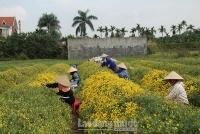 Người dân bội thu nhờ hoa Kim Cúc được mùa