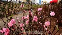Đào Nhật Tân bung nở, khoe sắc thắm tại chợ hoa Quảng An