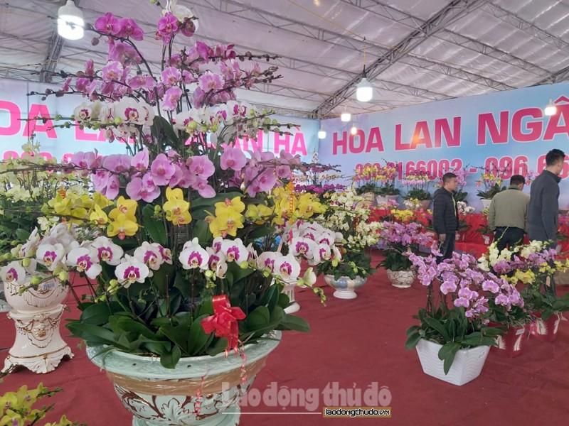Hà Nội: Hoa lan rực rỡ xuống phố đón Tết