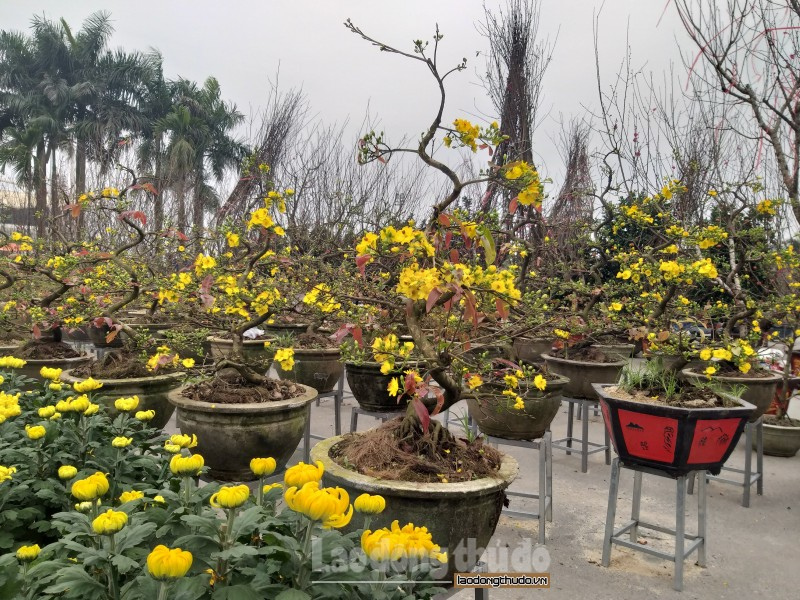 Hà Nội: Mai vàng xuống phố đón xuân sang