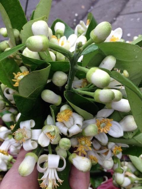 Ngát hương hoa bưởi những ngày đầu xuân