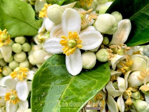 Mùa hoa bưởi - khúc giao mùa của đất trời Hà Nội