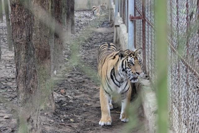 Không nên mù quáng về công dụng chữa bệnh của cao hổ