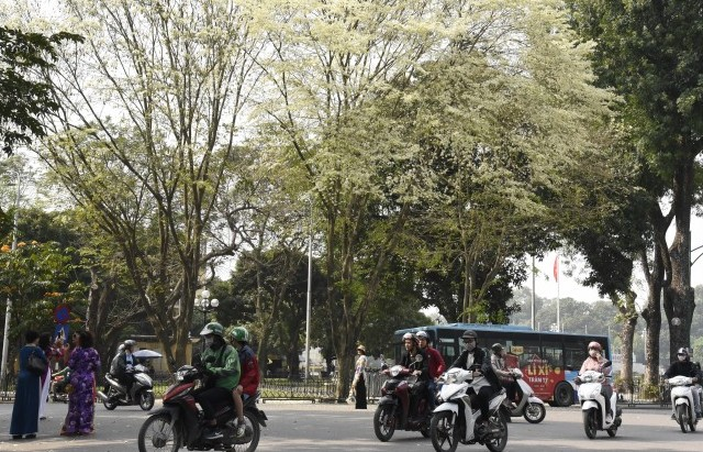 Hoa sưa nở trắng trời Thủ đô