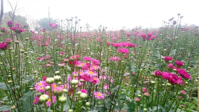 Mãn nhãn trước những cánh đồng hoa Mê Linh