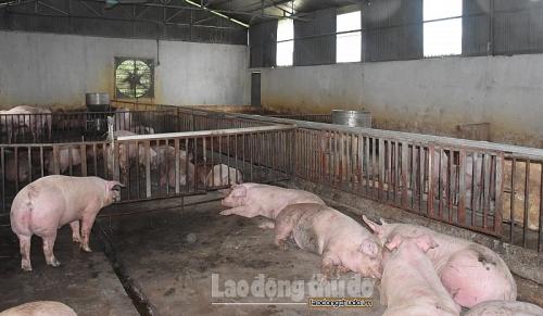 Hà Nội: Thêm 4 hộ chăn nuôi có lợn nhiễm dịch tả lợn châu Phi