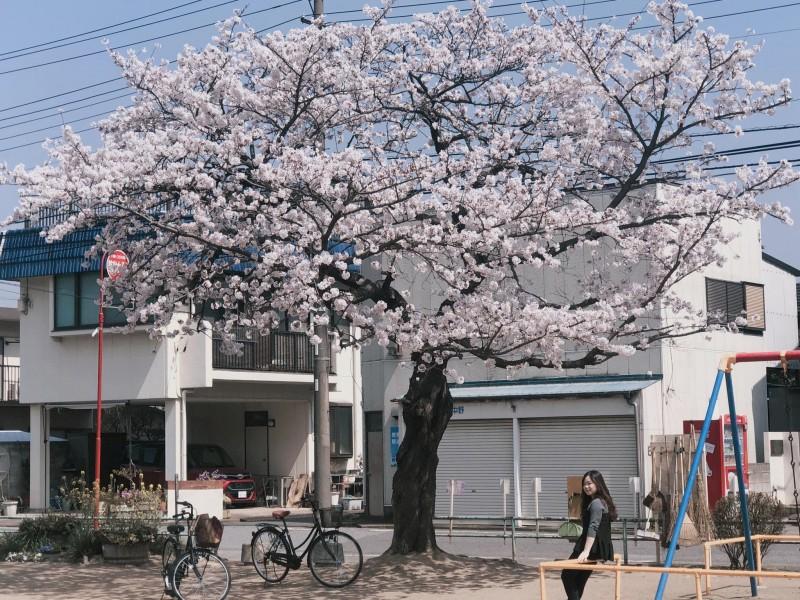 Ngắm hoa anh đào qua ống kính của du học sinh Việt tại Nhật Bản