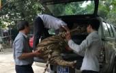Hà Nội: Chuyển giao một tiêu bản hổ về Bảo tàng Thiên nhiên Việt Nam
