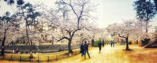 Ngắm hoa anh đào qua ống kính của lao động Việt tại Nhật Bản